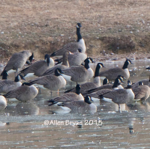 Different perspective of same goose in Goochland County, Virginia on January 11, 2015