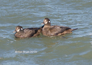 Harlequin Ducks on CBBT Island #1 on January 31, 2015