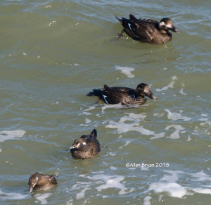 White-winged Scoters with Harlequin Ducks on CBBT on January 31, 2015