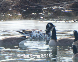 """Marbled"" partially leucistic Canada Goose in Louisa County, Virginia on  January 18, 2015"