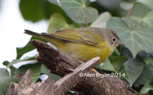 Nashville Warbler in Hopewell, Virginia on January 2, 2015.