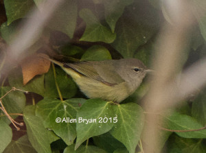 Orange-crowned Warbler in Hopewell, Virginia on January 1, 2015