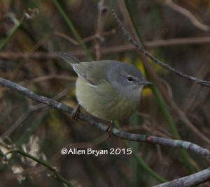 Orange-crowned Warbler in Charles City County, Virginia on January 2, 2015