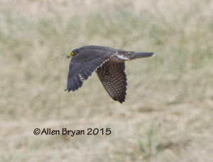 Peregrine Falcon near New Hope, Augusta County, Virginia on January 18