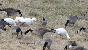 Ross's and Cackling Goose size comparison in Augusta County, Virginia on January 18, 2015