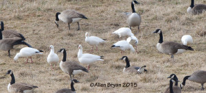 Ross's Geese in Augusta County, Virginia near Fisherville on January 18, 2015