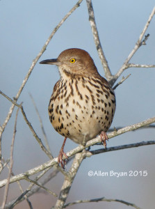 Brown Thrasher posing at Back Bay NWR, Virginia