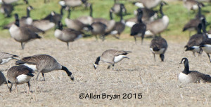 One of three Cackling Geese on Turkey Island Road in Henrico County, Virginia