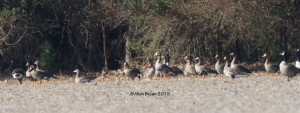 Sixteen (16) Greater White-fronted Geese in Henrico County, Virginia