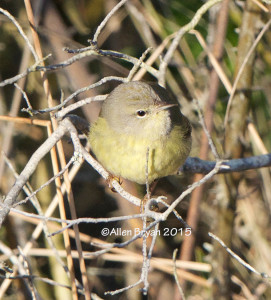 One of two Orange-crowned Warblers at Back Bay NWR, Virginia