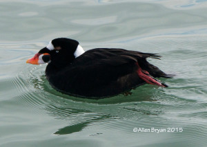 Surf Scoter (male) at CBBT Island #1, Virginia