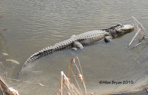 Alligator with young on South Padre Island, Texas
