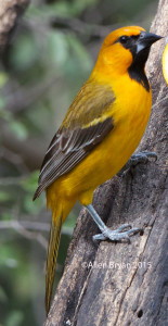 Altamira Oriole, 1st year, southern Texas