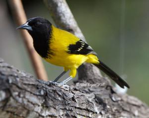 Audubon's Oriole in southern Texas