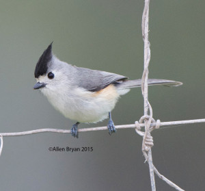 Black-crested Titmouse in southern Texas