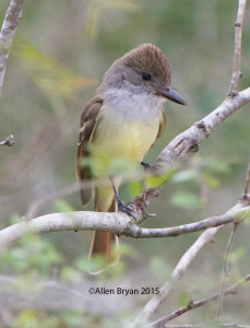 Brown-crested Flycatcher in southern Texas