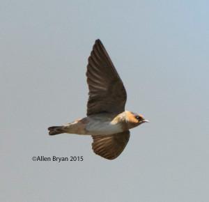 Cave Swallow @ Santa Ana NWR, Texas