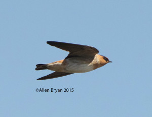 Cave Swallow at Santa Ana NWR, Texas