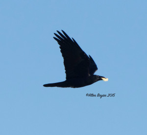 Chihuahuan Raven in southern Texas