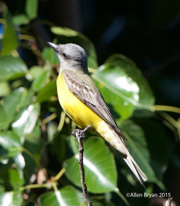 Couch's Kingbird in southern Texas