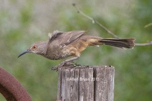 Curved-billed Thrasher in southern Texas