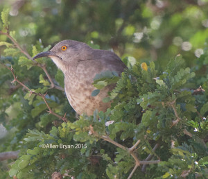 Curve-billed Thrasher in southern Texas