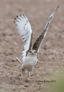Ferruginous Hawk from southern Texas
