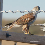 Ferruginous Hawk- light adult