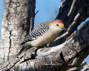 Golden-fronted Woodpecker @ Bentsen- Rio Grande State Park, Texas