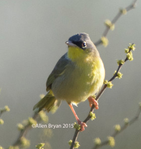 Gray-crowned Yellowthroat in Estero Llano State Park, Texas