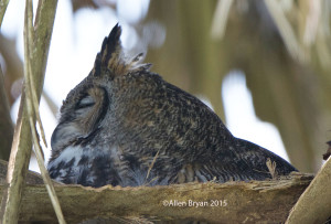 Great Horned Owl on nest at Sabel Palm Sanctuary, Texas