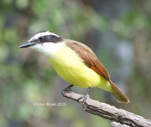 Great Kiskadee in southern Texas