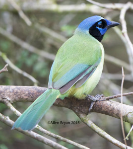 Green Jay in southern Texas
