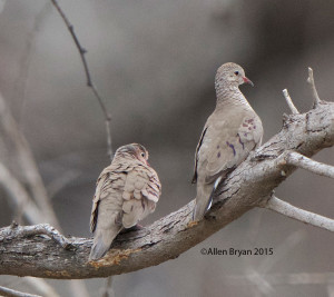 Common Ground-Dove at Bentsen- Rio Grande State Park, Texas