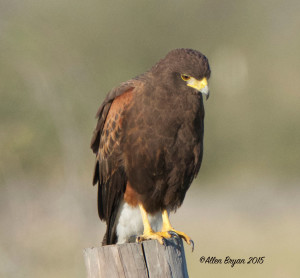 Harris's Hawk in southern Texas