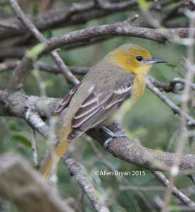 Hooded Oriole in southern Texas
