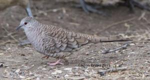 Inca Dove @ Bentsen- Rio Grande State Park, Texas
