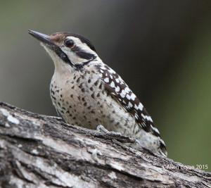 Ladder-backed Woodpecker (female) in southern Texas