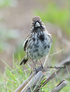Lark Bunting in southern Texas