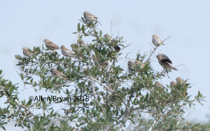 Lark Buntings in Hidalgo County, Texas