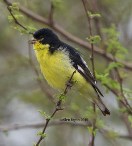 Lesser Goldfinch in southern Texas