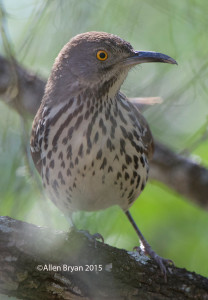 Long-billed Thrasher in southern Texas