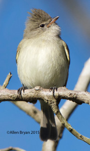 Northern Beardless-Tyrannulet @ Estero Llano State Park, Texas