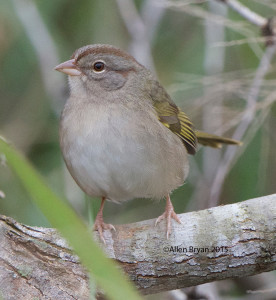 Olive Sparrow in southern Texas