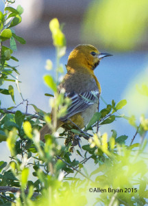 Immature Hooded Oriole at Bentsen- Rio Grande State Park, Texas