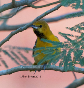 Immature Hooded Oriole at Bentsen- Rio Grande State Park Texas
