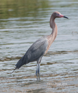 Reddish Egret @ Padre Island, Texas