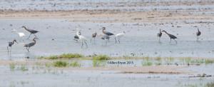 Reddish Egrets foraging @ Bahia Grande, Texas