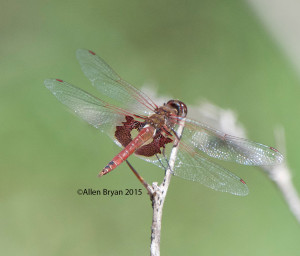 Red Saddlebags- Tramea onusta from southern Texas