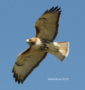 Red-tailed Hawk from southern Texas
